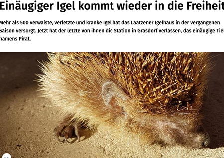 """7. August 2020   Hannoversche Allgemeine   """"Einäugiger Igel kommt wieder in die Freiheit"""""""