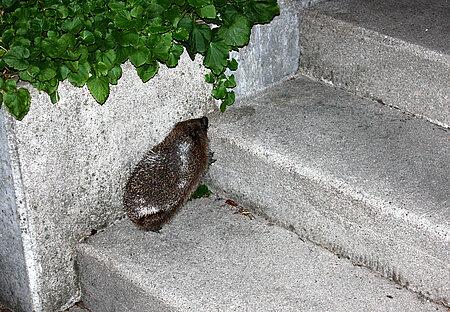 Igel auf einer Treppe