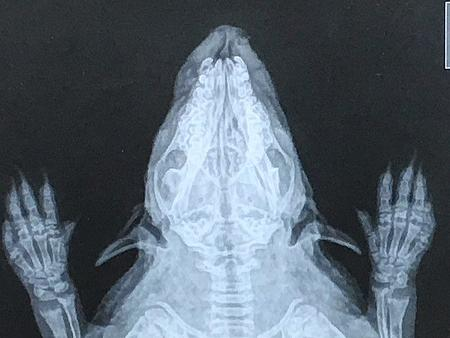 Röntgenbild von Igel Hope